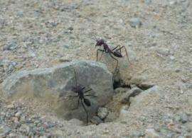 Пустельні мурахи калібрують навігаційну систему з геомагнітного поля Землі